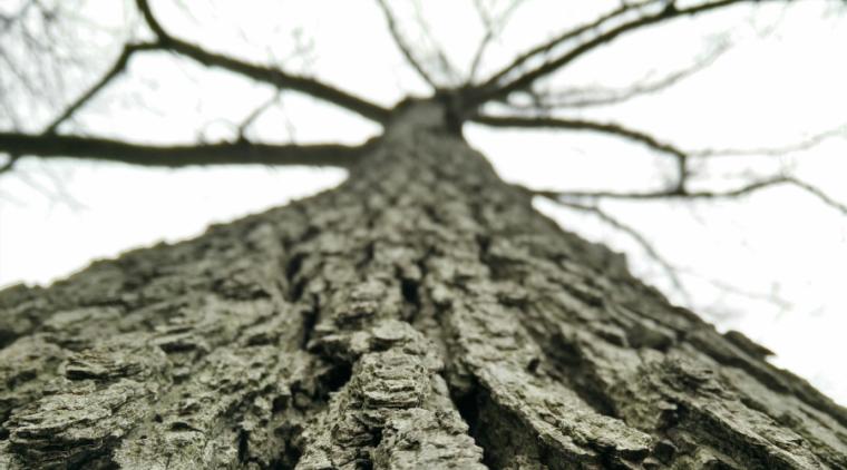 tall-tree